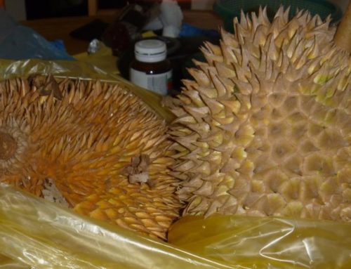 Durian – the Happy Fruit